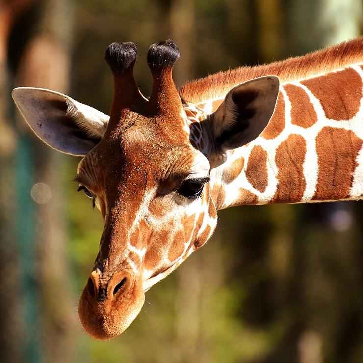 Giraffe im Frankfurter Zoo in der Nähe vom Hafenpark Quartier Frankfurt